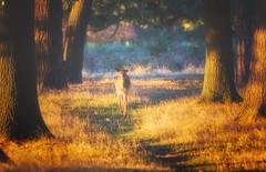 Golden Hour In Golden Glade (paulinuk99999 - just no time :() Tags: paulinuk99999 golden sunset glade fallow deer bushy park london wildlife landscape sal70400g