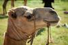 Maralal Camel Derby (3 of 93) (weldonwk) Tags: kenya camel deby maralal