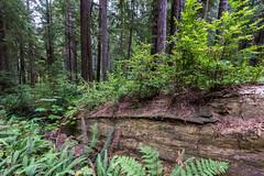 Prairie Creek Redwoods 14 (ssiegel16) Tags: prairiecreek redwoods
