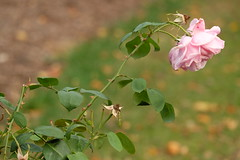 pink rose (Myrtxx) Tags: pink rose green hanging flower flowers babypink outdoor plant pastel fujifilm netherlands dutch diagonal
