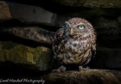 Little owl (Athene noctua) Best viewed large (hunt.keith27) Tags: owl little feathers wings wall hiding sun stones eyes sunlight declining posing beak staring