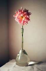 Taste of Analog - Still-Life with flower (Aleirbag-o) Tags: flower analag film czech indoor light nature stilllife color interier pink plant glass water