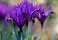 "Iris pumila ""Red Purple"" (anjoudiscus) Tags: flowers iris nature colors fleurs purple montral couleurs ange d800 jardinbotanique pourpre jardinalpin micronikkor105mmvr irispumila irispumilaredpurple"