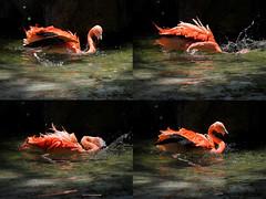 Bathing Flamingo ( Slices of Light   ) Tags: california pink bird canon zoo la photo losangeles los bath angeles flamingo montage bathing    60d
