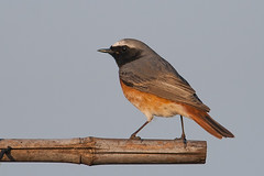 Common Redstart (Phoenicurus phoenicurus) (Johan van Beilen) Tags: red bird netherlands canon spring song 56 songbird 400mm stadskanaal commonredstart phoenicurusphoenicurus 400d