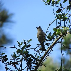 Tufted Titmouse (Akelly2012) Tags: titmouse tufted april102013