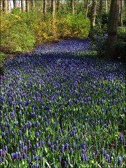 The blue path... (mau_tweety) Tags: wood flowers blue tree verde green path blu fiori sentiero bosco