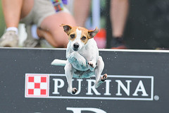 Head On, 2013 Purina Pro Plan Incredible Dog Challenge (Eric Seibert) Tags: stpetersburg florida jackrussellterrier purina jumpingdog divingdog incredibledogchallenge ericseibert