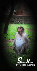 pregnant monkey (sidhu Clicks) Tags: africa wild hairy baby black cute nature animal mammal zoo monkey hands nikon infant alone natural chimp little sweet african wildlife small humor ape pan chimpanzee endangered nikkor playful primate rare bonobo pygmy sidharth sidhu paniscus nikond5100 nikkor70300fx sidhuclicks