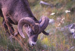 IMG_0057 (Rock Rabbit Photo) Tags: scans sheep horns bighorn rams slides