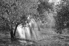 (ZacKak) Tags: trees light bw white black nature field horizontal outdoors nikon day olive agriculture beams d3100