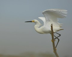 Snowy Egret (KoolPix) Tags: tree bird nature animal wings egret snowyegret naturephotography naturephotos naturephotographer animalphotographer koolpix photocontesttnc12 jaydiaz jaydiaznaturephotographer photocontesttnc13 wcswebsite