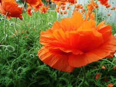 poppies 038 (cellocarrots) Tags: poppies