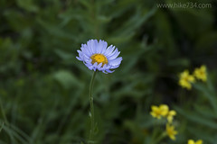 "Showy Fleabane • <a style=""font-size:0.8em;"" href=""http://www.flickr.com/photos/63501323@N07/28125145434/"" target=""_blank"">View on Flickr</a>"