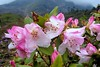 Rhododendrons in The Mist (pallab seth) Tags: pink wild india mist flower nature digital spring asia blossom glory wildlife valley species variety himalayas yumthang northsikkim yumthangvalley nikoncoolpixp3 shingbarhododendronsanctuary