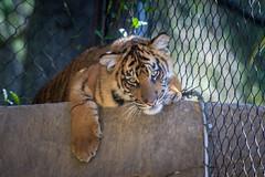 Debbie hiding out up on the rock ledge (ToddLahman) Tags: debbie joanne tigers teddy tiger tigertrail tigercub sandiegozoosafaripark safaripark sumatrantiger babysumatrantiger canon7dmkii canon canon100400 escondido