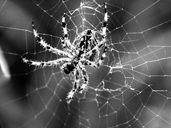 spider is coming to get you monochrome (PDKImages) Tags: spider spiders webs macro beauty silhouettes legs creepy danger feeding striped pounce nature