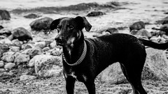 Dog at the Beach 3 (kornflakezzz) Tags: animal animals tiere hund dog strand beach baltic sea am bw sw black white schwarz weis sigma sony alpha a57