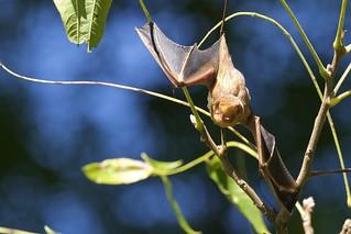 Eastern Pipistrelle