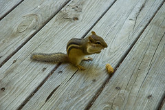 pouches (Lou Musacchio) Tags: chipmunk animal nature wood wooddeck peanuts