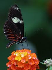 Schmetterling (Klaus R. aus O.) Tags: tracheentiere tracheata berklasse sechsfser hexapoda klasse insekten insecta unterklasse fluginsekten pterygota berordnung neuflgler neoptera ordnung schmetterlinge lepidoptera falter