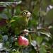Sulphur-winged Parakeet, Pyrrhura hoffmanni