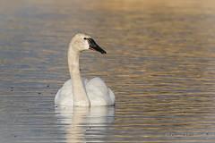Tundra Swan (Turk Images) Tags: biglake cygnuscolumbianus stalbert tundraswan alberta anatidae birds tusw waterfowl feeding migration spring swans