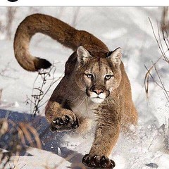 Cougar (freddykruegerthai) Tags: nature cats cougar