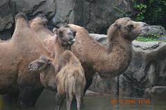 Bactrian Camels (MsLiz788) Tags: bactriancamel zoosofnorthamerica