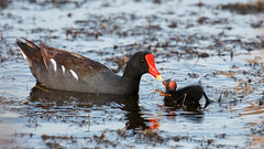 Feeding Time (Bill McBride Photography) Tags: commongallinule common gallinule moorhen gallinulagaleata chick young feeding parent bird avian nature wildlife ritchgrissommemorial wetlands viera melbourne fl florida summer august 2016 canon eos 70d ef100400l
