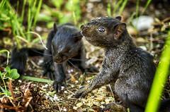 Baby Squirrels (flashfix) Tags: august242016 2016 2016inphotos nikond7000 nikon ottawa ontario canada 40mm portrait squirrels blacksquirrels babies infant juvenile animal rodent nature mothernature