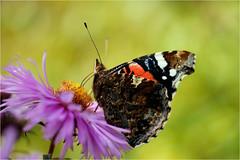 vanessa atalanta......... (atsjebosma) Tags: butterfly vlinder garden tuin vanessaatalanta macro bokeh atsjebosma groningen thenetherlands nederland kleurrijk colorful summer zomer 2016 flower bloem aster