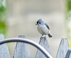 Backyard Birds (tjk-photography) Tags: tuftedtitmouse