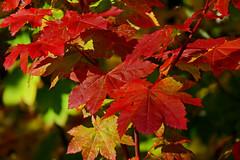 Autumn (shesnuckinfuts) Tags: autmn fall leaves goldcreekpond shesnuckinfuts september2016 nature red snoqualmiepass