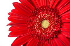 Gerbera Daisy (Mustang Joe) Tags: nikon publicdomain d750 red flower macro gerbera daisy white background petals 105mm
