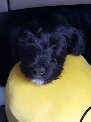 Good Sleep (crisp4dogs) Tags: gabby pwd portuguesewaterdog puppy sleep crisp4dogs