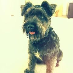 Alby (242/366) (garrettc) Tags: friends home miniatureschnauzer dog notmydog alby 366 365