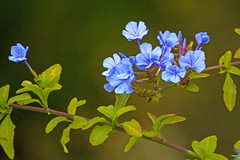 Blue Plumbago (Dave In Oregon) Tags: plumbago plant blue flowers walnuthill oregon fall