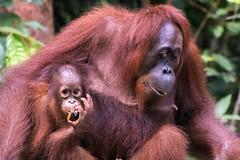 Borneo, orangutn madre. Explore 08.10.2016 (fdecastrob) Tags: borneo indonesia orangutan d750 kumai jungle