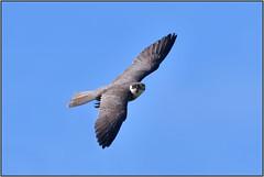 Hobby (image 1 of 3) (Full Moon Images) Tags: rspb sandy thelodge lodge wildlife nature reserve bird prey birdofprey flight flying hobby