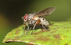 Bubble Butt (ashperkins) Tags: beautifulbugbuttthursday bugbutt fly bubble ashperkins eos7d