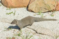 0Z4A8487 (francois f swanepoel) Tags: fangs carnivore galerellapulverulenta herpesidae capegreymongoose cheeky eat grabouw meerkat mongoose smallgraymongoose weskaap westerncape