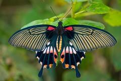 Papilio memnon heronus (Changer4Ever) Tags: nikon d7200 papiliomemnonheronus butterfly insect animal life nature color colorful bokeh dof closeup macro outdoor wings hair