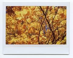 Autumn Orange (Past Our Means) Tags: autumn orange fall tree fujifilm fuji instax instant wide 210 istillshootfilm 2016 instaxwide fujifilminstax hiking