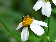 Good weed (alansurfin) Tags: green bee halictid insect aster flower bloom weeds pollen abeja biene abeille greenbee metallicgreenbee agapostemon sweatbee