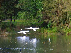 Swans Santry Woods 17-10-2016 001 (gallftree008) Tags: swans santry woods dublin ireland 17102016 codublin county irish irishwildlife water nature naturesbeauties naturescreations amazingnature lake bird birds avian aqua wildlife lifebouy dub