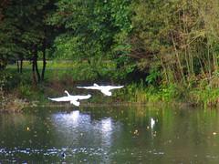 Swans Santry Woods 17-10-2016 001 (gallftree008) Tags: swans santry woods dublin ireland 17102016 codublin county irish irishwildlife water nature naturesbeauties naturescreations amazingnature lake bird birds avian aqua wildlife lifebouy dub