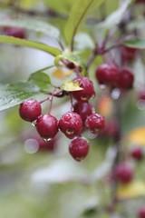 Rain Drenched Berries (Read2me) Tags: she cye autumn thechallengefactory ge berries dof bokeh wet drops rain green red perpetualchallengewinner pregamewinner