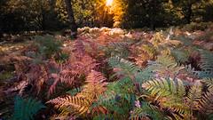 The Autumn sun over multi-coloured ferns at Denny Wood (stevemiller888) Tags: newforest ferns sun forest autumn nikon hampshiire multicoloured