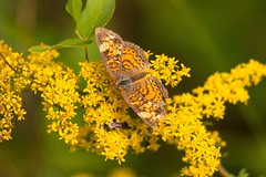 7K8A9695 (rpealit) Tags: scenery wildlife nature sparta mountain management area pearl crescent butterfly